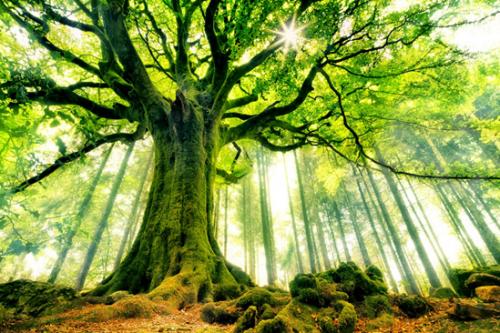 Vign les plus beaux arbres du monde hetre de ponthus ws59210572